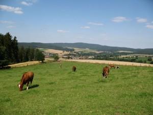 grasende Kühe vor der Linde im herrlichen und ruhigen Pfieffetal